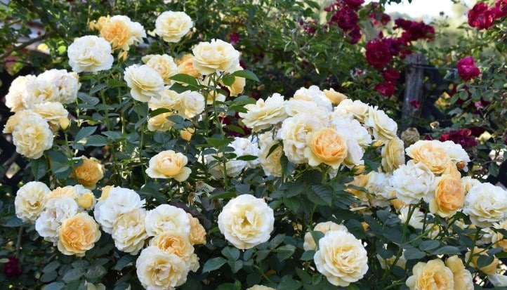 Bring Your Options for the Perfect Roses Now