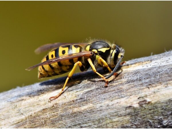 5 Need-to-Know Wasp Facts for Homeowners